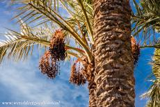 Palmeral of Elche - The Palmeral of Elche is a plantation of mostly date palms. The first palm trees were probably planted by the Carthaginians in the 5th...