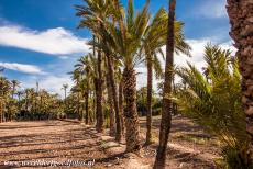 Palmeral of Elche - The Palmeral of Elche is composed of 97 different orchards, called huertos. It is thought that the first date palms were originally...