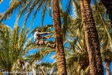 Palmeral of Elche - The Huerta del Cura is a small botanical garden situated inside the Palmeral of Elche, the garden contains around thousand palm trees. In the...