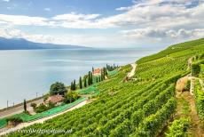 Lavaux, Vineyard Terraces - Lavaux Vineyard Terraces: The vineyard terraces near Saint Saphorin. The small village of Saint Saphorin on the Lake of Geneva is...