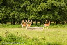 The par force hunting landscape in North Zealand - The par force hunting landscape in North Zealand: Deer near the Dousbad Vildthus in the deer park Jægersborg Dyrehave. Over the last 300...