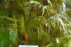 Botanical Garden (Orto Botanico) of Padua - Botanical Garden (Orto Botanico), Padua: The Goethe Palm is the oldest plant in the garden, planted in 1585. The palm is known as...